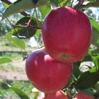 Alvina Gala Fank M9 3rd Leaf 2007 3
