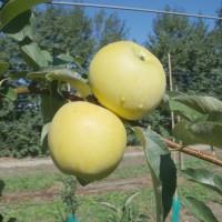 Délicia, fruits   3f Pugère, 10-08-07