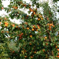 Orangered-1