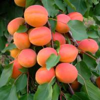 Orangered-2