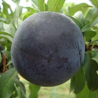 Black-Amber-3
