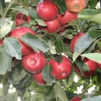 SF09010 ALVINA GALA Branche Fruitiere 2