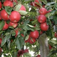 SF09010 ALVINA GALA Branche Fruitiere 3