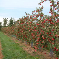 Cripps Red* port arbre